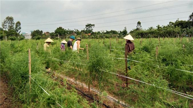 thai binh 7x lieu minh trong rau hoang de tren dat lua ban 80 ngankg