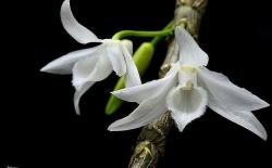 Ngắm cây mai 4 tỷ, lan đột biến 2 triệu/cm hoa... chỉ đại gia mới dám mua chơi Tết