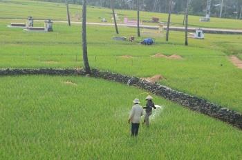 Nông dân Lý Sơn trồng hành tím trái vụ