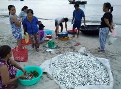 Cá trích được mùa, giá cao ở Thừa Thiên Huế