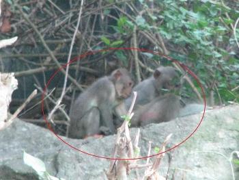 Xứ Cù Lao rào làng chống... khỉ