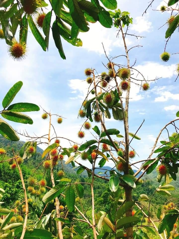 Lạ lẫm chôm chôm rừng ở miền cao xứ Quảng