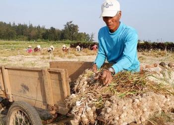 Giá tỏi xuống thấp, nông dân Lý Sơn mong hỗ trợ