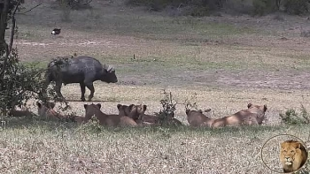 Video: Trâu đực nghênh ngang đi dạo ngay trước mũi đàn sư tử