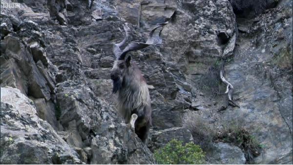 Video: Gay cấn màn rượt đuổi của báo tuyết và dê núi trên địa hình dốc hiểm trở