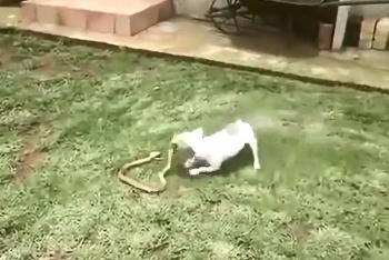 Video: Chó nhà tấn công hổ mang chúa và cái kết khó tin