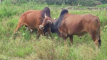 Tin tức 24h trong ngày mới nhất: Xua đuổi 2 con bò đực đang kịch chiến, người phụ nữ bị bò quay ra húc
