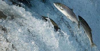 Video: Tận mắt xem cá hồi bay như chim để phóng ngược thác nước