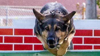 Sĩ quan Mỹ bị điều tra vì đánh chó nghiệp vụ K9 trong quá trình huấn luyện