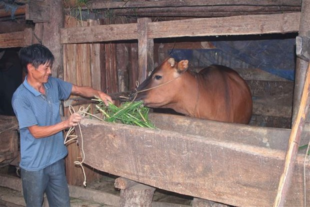 Gia đình ông Thào A Vàng, xóm Lũng Vầy, xã Cô Ba (Bảo Lạc, Cao Bằng) được hưởng lợi từ mô hình phát triển chăn nuôi bò cái sinh sản tạo sinh kế cho hộ nghèo. Ảnh: Chu Hiệu - TTXVN