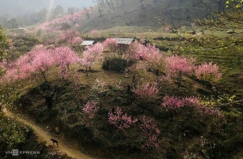Lào Cai: Đào nở hồng rực chân núi Lảo Thẩn