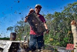 Nuôi ong dưới tán rừng sú vẹt