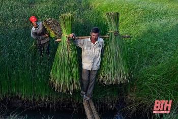 Nông dân Thanh Hóa chong đèn thu hoạch cói để tránh nóng