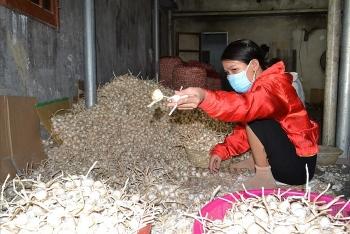Lý Sơn kêu gọi hỗ trợ tiêu thụ tỏi giúp nông dân trên đảo