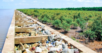 Cà Mau: Khôi phục rừng phòng hộ ven biển