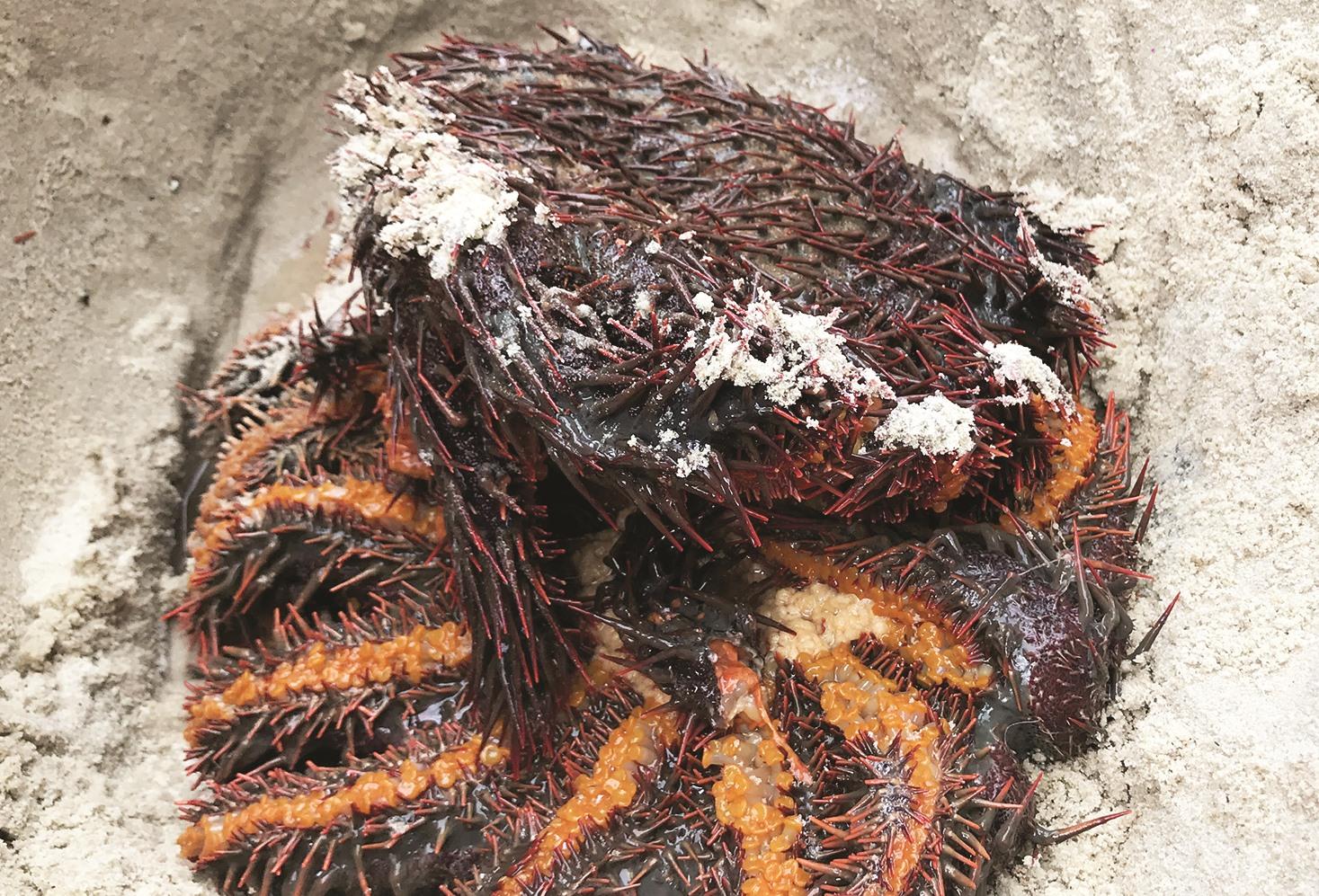Dùng vôi và axit tiêu khử sao biển gai, nếu để sót chỉ một phần nhỏ thì nó sẽ tự tái sinh và phá hoại san hô.