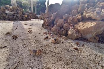 Quảng Ngãi: Bảo tồn cua đá đảo Lý Sơn