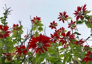 Rực rỡ mùa hoa trạng nguyên nơi biên giới
