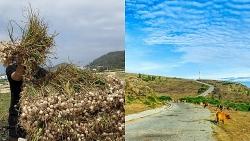 Du lịch tháng 3: Về Lý Sơn mùa tỏi, biển xanh, nắng vàng