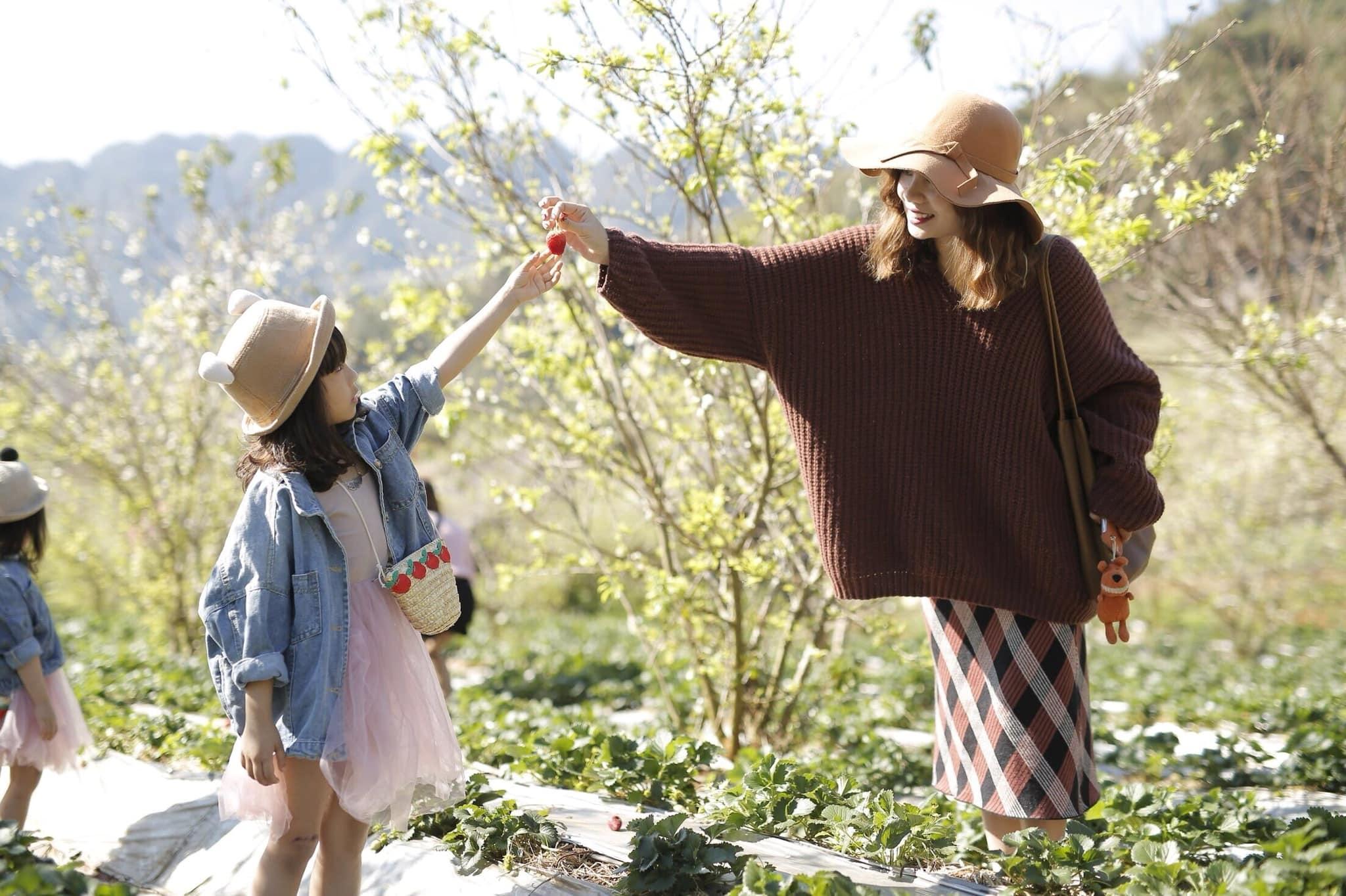 Hái dâu cùng các bé là một trong những trải nghiệm thú vị tại Mộc Châu được nhiều người yêu thích. (Ảnh: Review Mộc Châu)