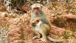 Đà Nẵng: Tái diễn tình trạng cho khỉ ăn bánh kẹo trên bán đảo Sơn Trà vì chưa có chế tài xử lý