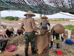 Niềm vui mùa thu hoạch ngao trên biển Cồn Vành, Thái Bình