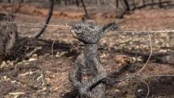 Gần nửa tỷ động vật bị thiêu sống trong vụ cháy rừng thảm khốc ở Australia