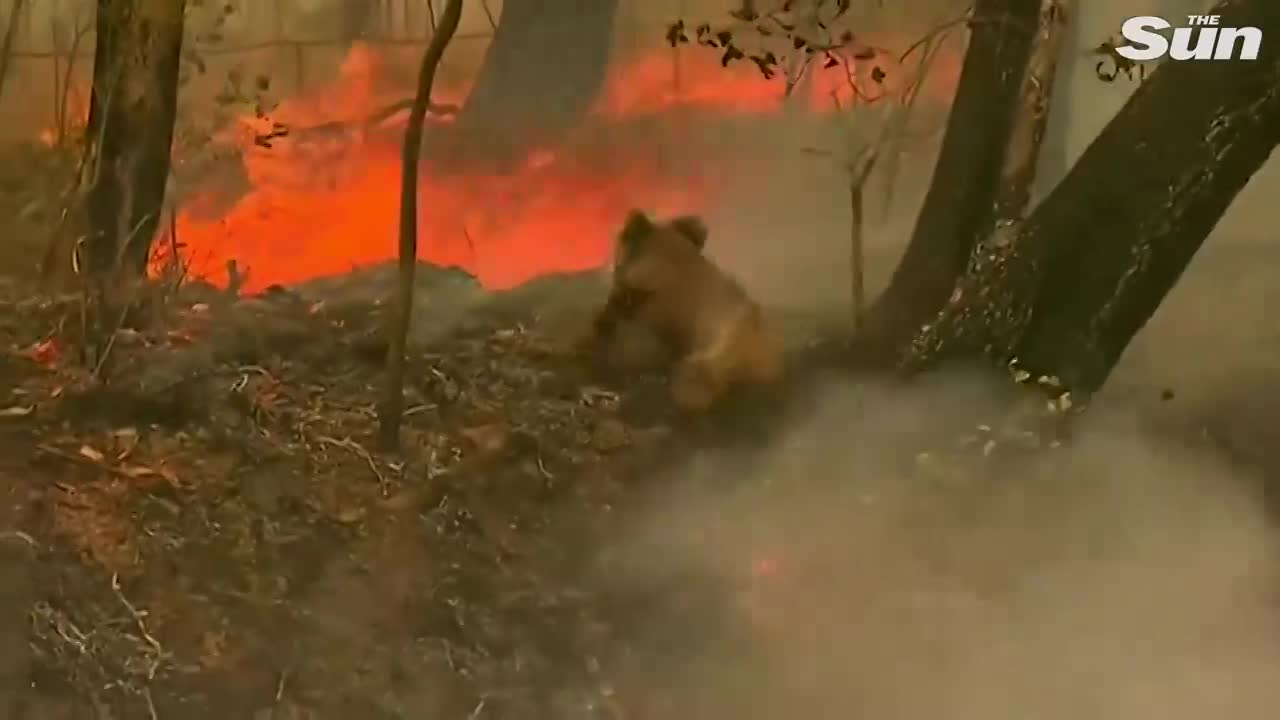 video gau koala kangaroo thoi thop trong bien lua chay rung o australia