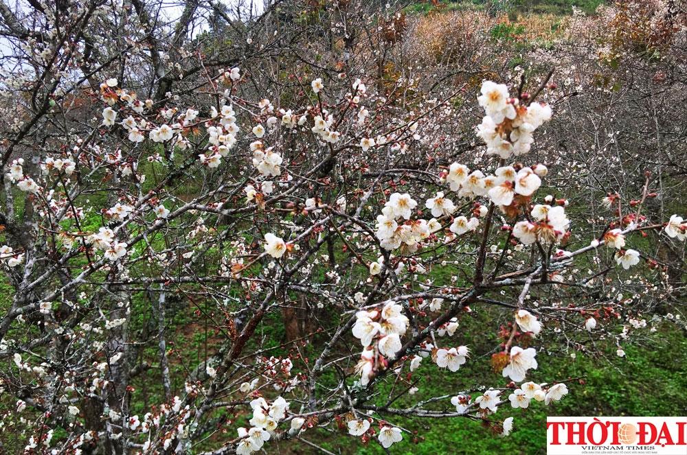 lac loi o thien duong hoa mo trang moc chau