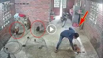 Trộm gà chuyên nghiệp với chiếc áo chống nắng 'thần kỳ'