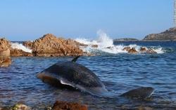 Xác cá voi mang thai chứa 22 kg rác thải nhựa