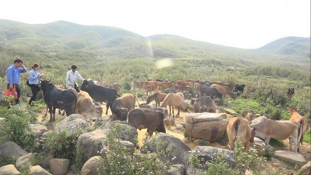 Đồng cỏ xanh quanh năm, đồi núi thấp, khí hậu mát mẻ đang là lợi thế để những người nông dân như anh Vàng A Là phát triển chăn nuôi đàn gia súc