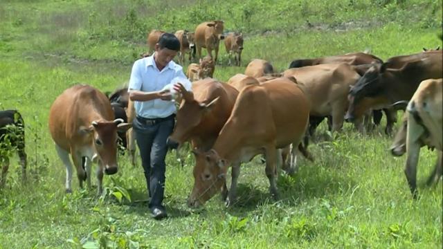 Đàn gia súc của gia đình luôn được anh Vàng A Là chăm sóc và phòng bệnh khá tốt