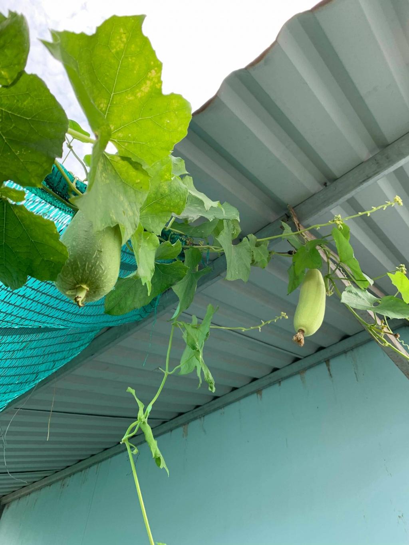 san thuong 30m2 xanh mat du loai rau qua hoa va ga sach cua me hai con o quan 12 tp hcm