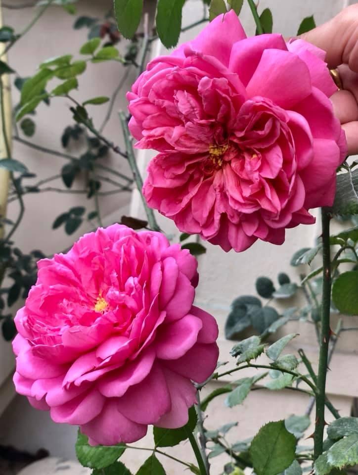 khoang san nha ngat huong hoa hong cua nguoi phu nu xinh dep o hoa binh