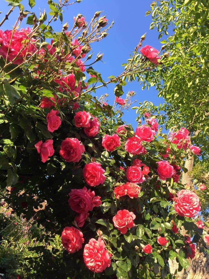 khu vuon dep nhu trong mo cua nguoi phu nu danh tat ca tinh yeu cho hoa hong