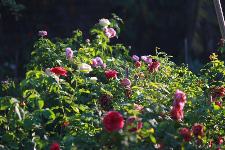chang hoa si mien trung ti man cham soc vuon hong ruc ro rong 1200m2 de lay cam hung ve tranh