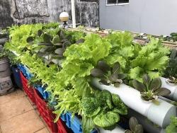 Với chi phí 30 triệu, ông bố trẻ tạo khu vườn trồng rau nuôi cá lý tưởng trên sân thượng ở TP HCM