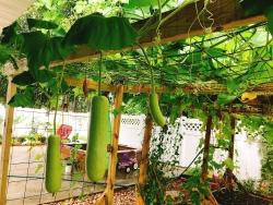 Khu vườn đậm chất quê hương của mẹ Việt ở Mỹ cho vơi bớt nỗi nhớ nhà