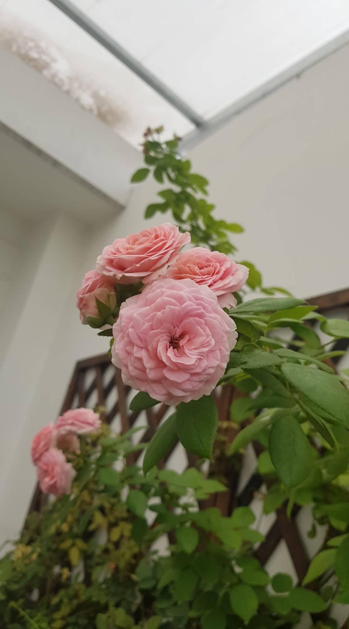 san thuong trong hon 400 giong hong cay nao cung no hoa ruc ro o binh duong