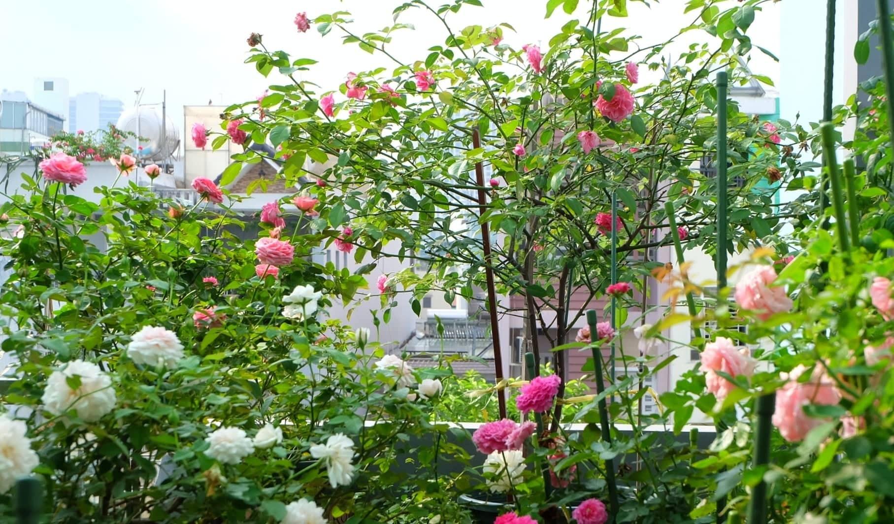 yeu hoa hong nu ke toan trong ca vuon hong ruc ro tren san thuong