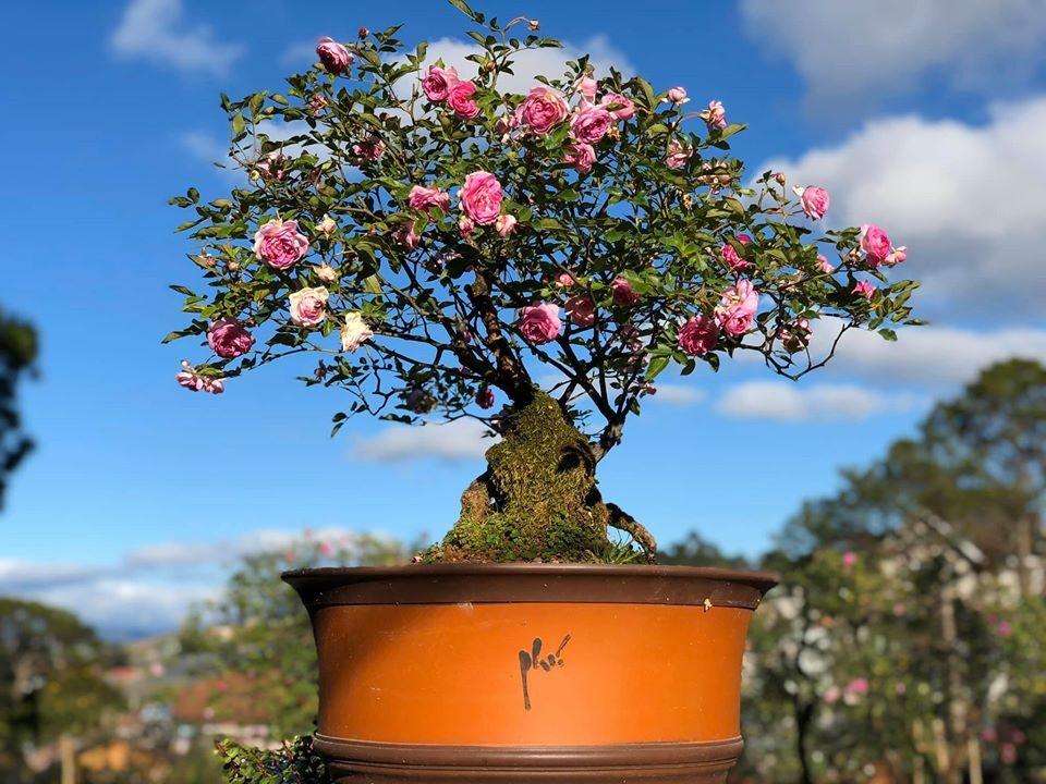 khu vuon voi nhung goc hong bonsai tri gia hang tram trieu o da lat