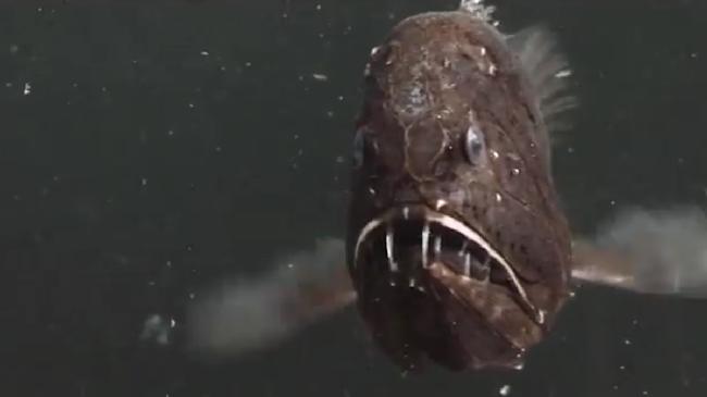 Video: Cận cảnh loài cá được mệnh danh 'yêu tinh biển cả' có vẻ ngoài đáng sợ