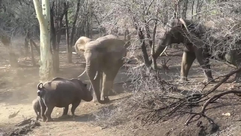 Video: Thú vị cảnh tượng tê giác chặn đường không cho voi uống nước