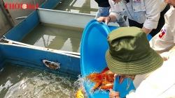 """Video: Đàn cá Koi Nhật Bản """"chuyển khẩu"""" đến sông Tô Lịch"""