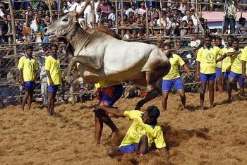 Muôn vẻ độc đáo lễ hội về trâu, bò trên thế giới
