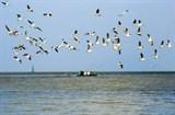 Ngất ngây ngắm chim trời săn mồi trên biển Tây Nam