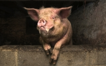 Kích động lợn nuôi, người đàn ông bị nó cắn tử vong