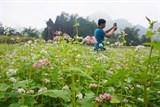 """Những địa điểm """"săn"""" hoa tam giác mạch đẹp nhất tại Hà Giang"""