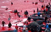 Cả vùng nước chuyển đỏ vì máu: Thảm cảnh hàng ngàn chú cá voi hoa tiêu bị giết hại, xả thịt dã man bên bờ biển